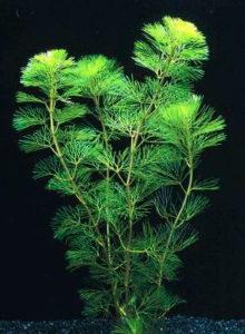 کابومبا سبز
