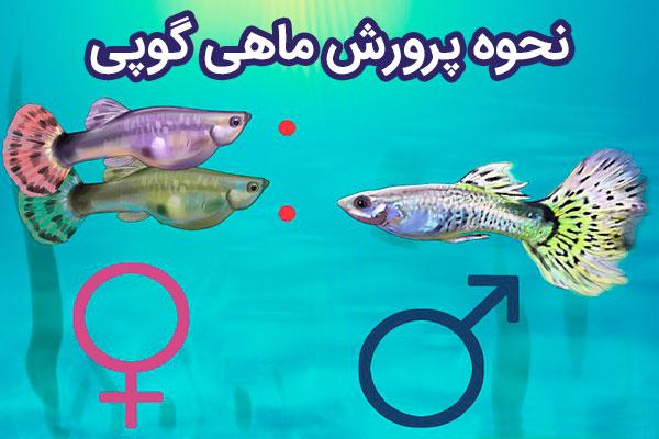پرورش ماهی گوپی