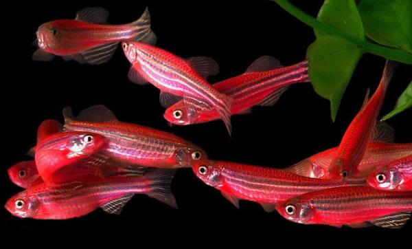 ماهی زبرا دانیو آکواریوم پلنت