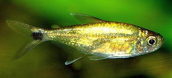 ماهی تترا طلایی آکواریوم پلنت