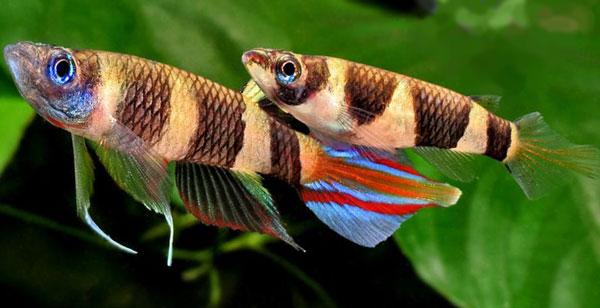 ماهی کیلی فیش دلقک آکواریوم پلنت