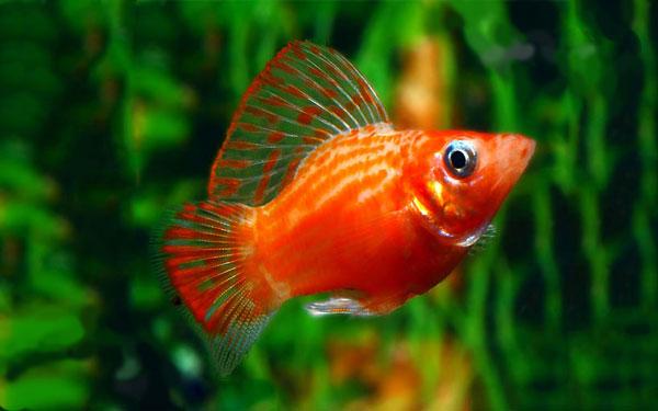 ماهی مولی آکواریوم پلنت