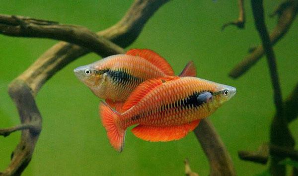 ماهی رنگین کمان ماداگاسکار آکواریوم پلنت