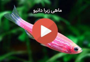 ماهی زبرا