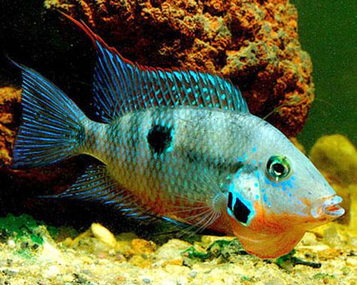 ویژگی های ماهی سیچیلاید