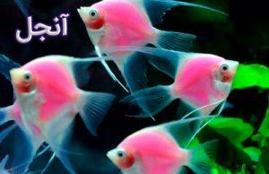 آنجل فرشته ماهی