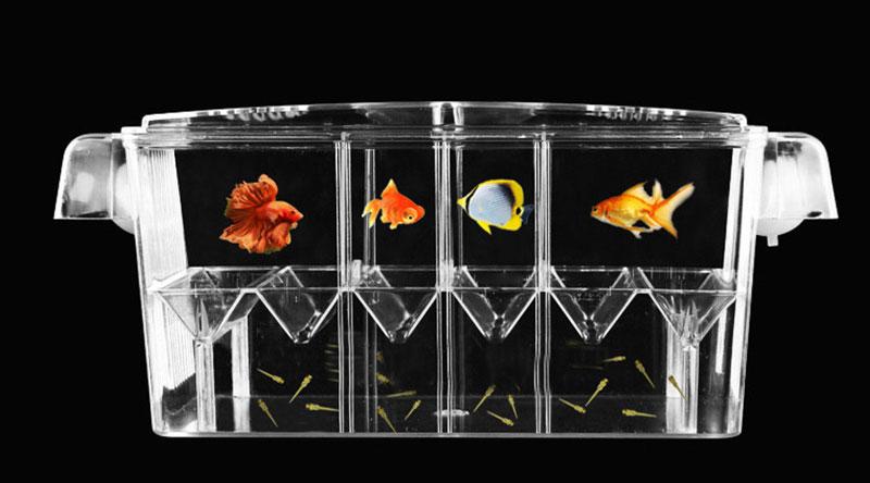 تکثیر ماهیان زنده زا