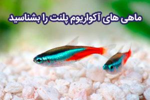 ماهی آکواریوم پلنت