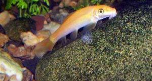 ماهی کت فیش طلایی آکواریوم پلنت