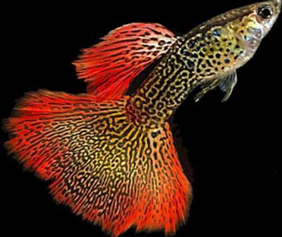 ماهی گوپی آکواریوم پلنت