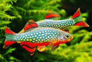 ماهی رازبورا دلقک آکواریوم پلنت