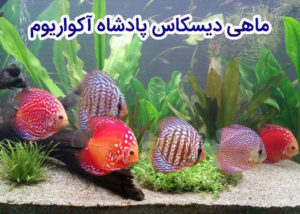 دیسکاس ماهی