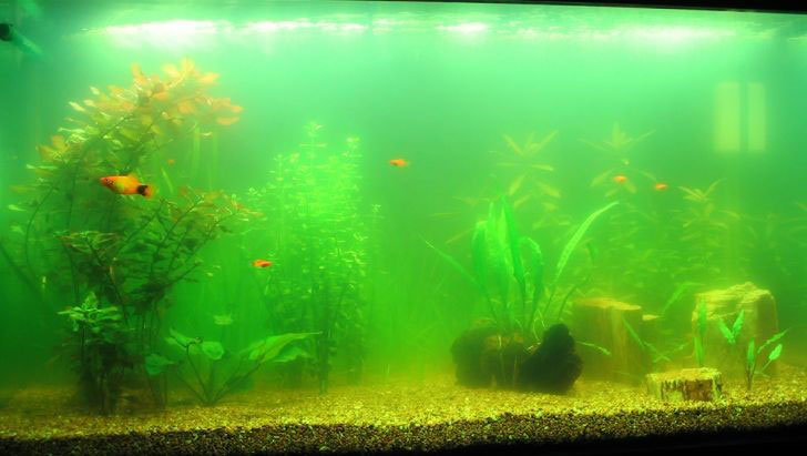 سبز شدن آب آکواریوم