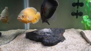 تولید-مثل-ماهی-اسکار