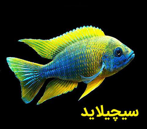 ماهی سیچیلاید