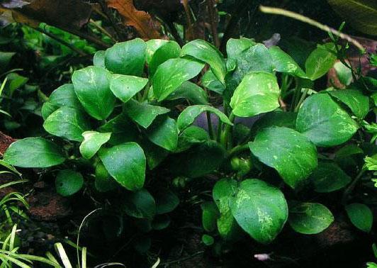 گونه های مختلف گیاه آبزی آنوبیاس