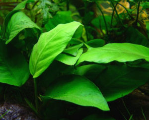 آب و گیاه آنوبیاس