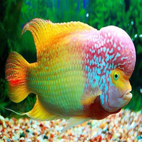 گونه های مهاجم ماهی فلاور