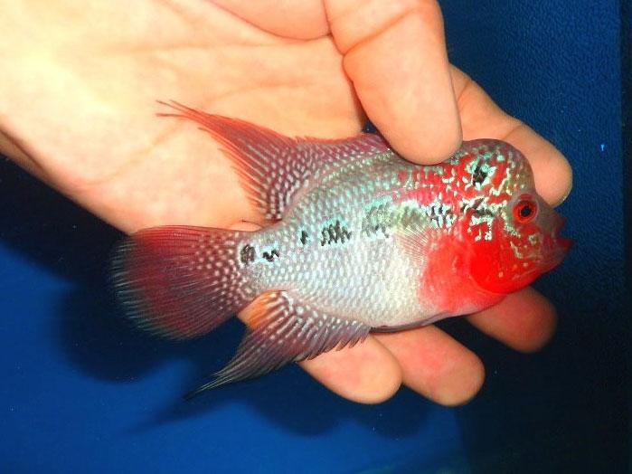 مراقبت از ماهی فلاور