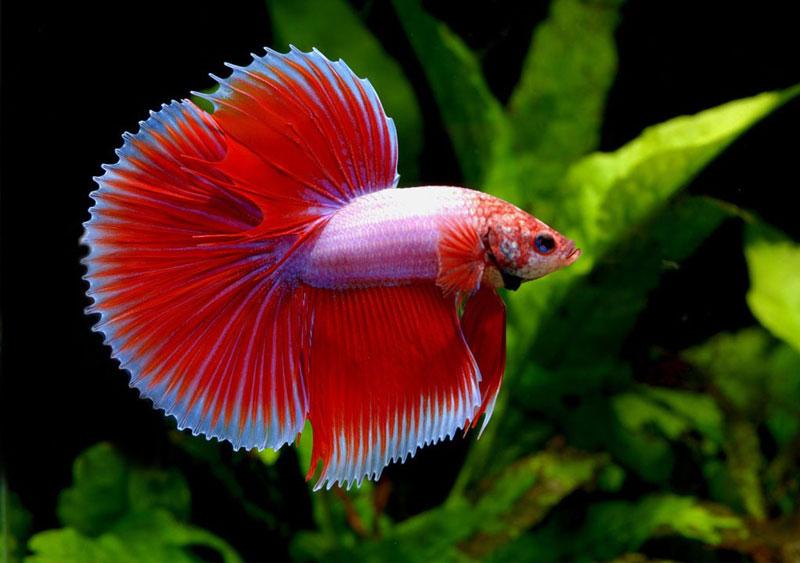 ماهی قرمز جنگجو