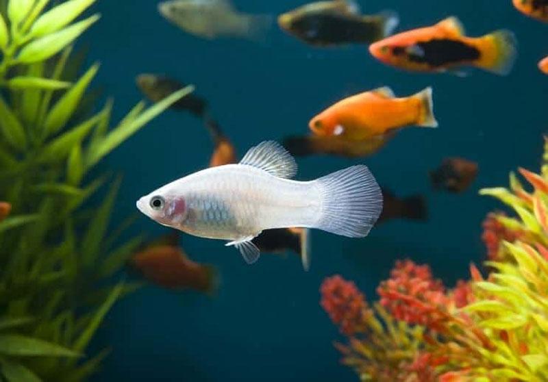 ماهی پلاتی سفید