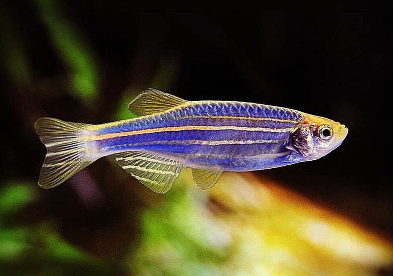 آشنایی با ماهی زبرا