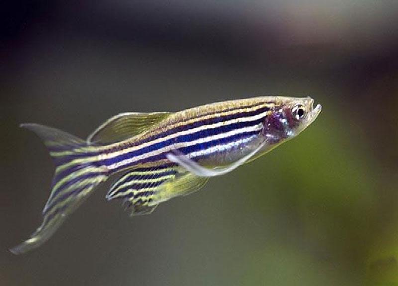 ویژگی های ماهی زبرا