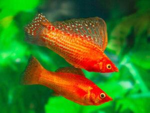 آشنایی با ماهی مولی