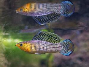 نگهداری ماهی مولی
